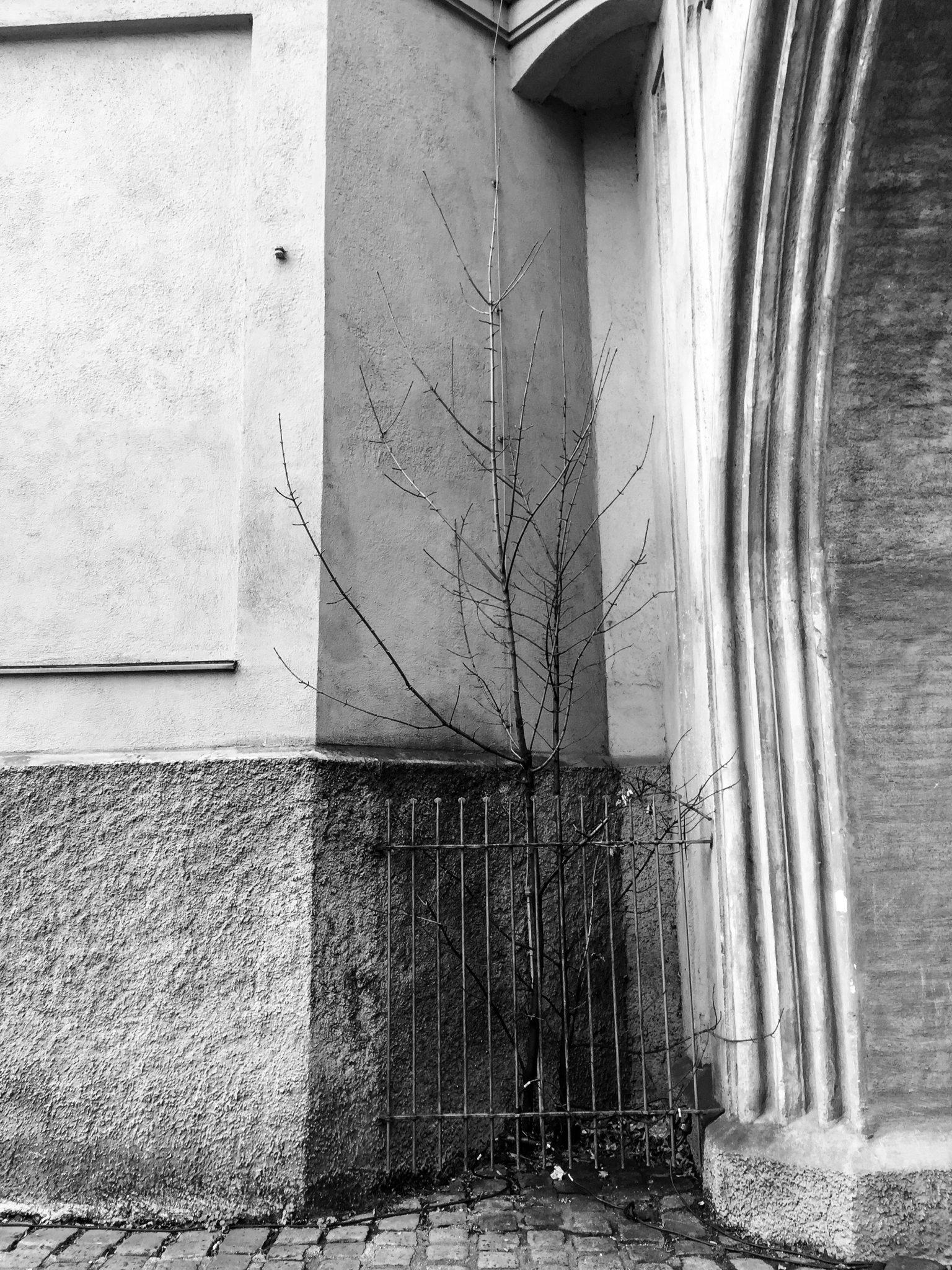 Schmerzhaftes Mauereck. Trostbaum Oder: Armes Bäumchen. Schutzzaun.